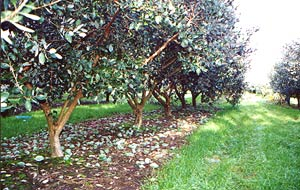 Commercial feijoa trees with single trunks branching out at 50cms